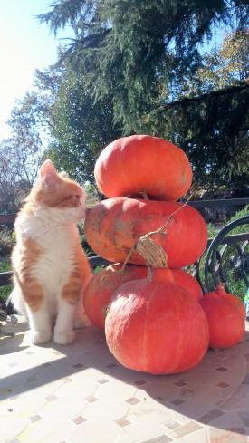 chat roux et citrouilles